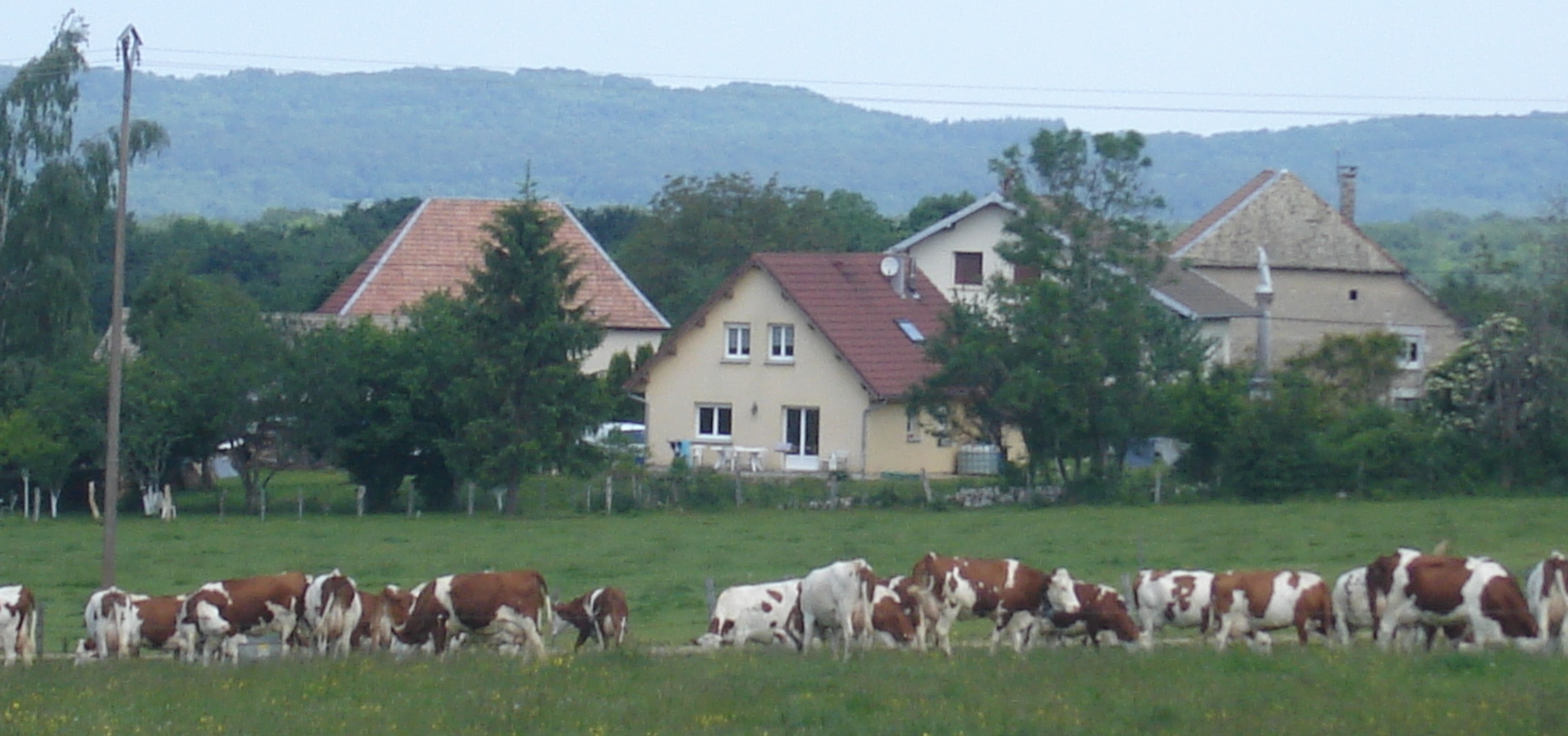 vaches-saules